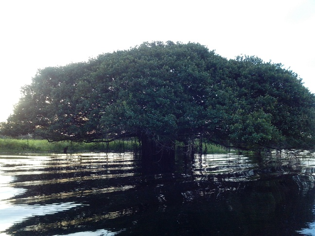 Árvore Apuí, Reserva de Desenvolvimento Sustentável Mamirauá