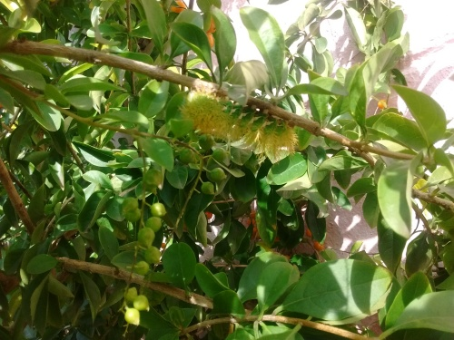 Lagarta no galho da árvore