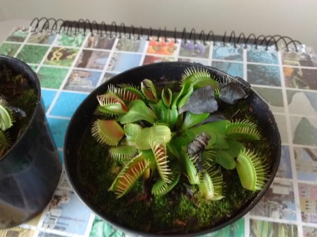 Planta carnívora Dioneia, alimentando-se de uma mosca