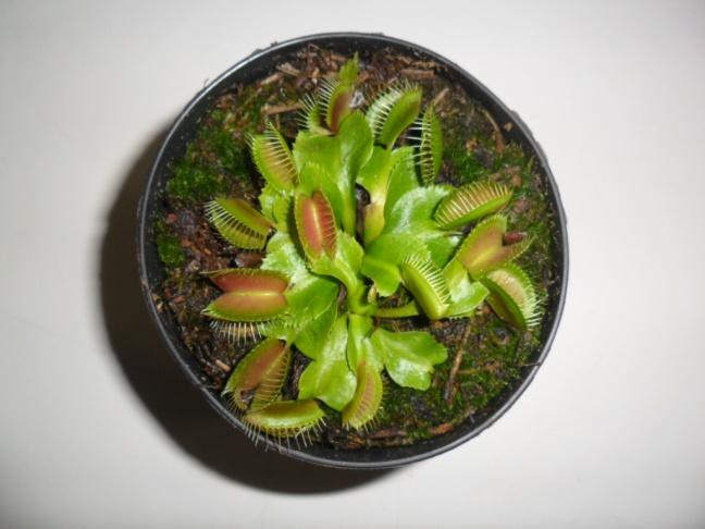 planta carnívora dioneia