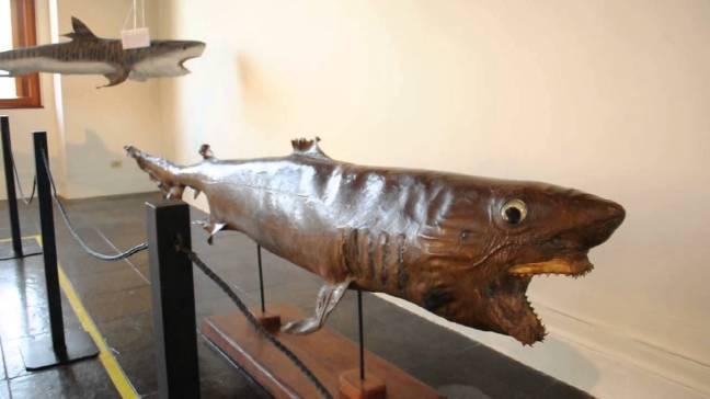 Tubarão taxidermizado, museu de pesca, Santos, SP