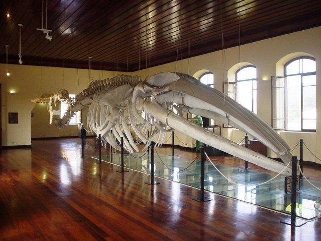 Esqueleto de baleia no museu de pesca de Santos-SP