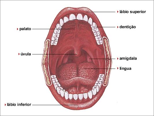 sistema digestório maxilar boca aula de ciências