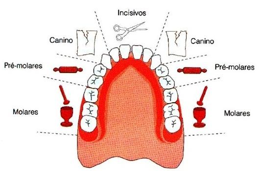 sistema digestório boca dentes