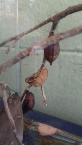 Ciclo de vida das lagartas. Anos iniciais, ensino fundamental, ensino de ciências